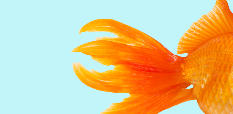 Tail end of a goldfish